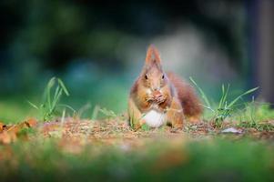 nieuwsgierig schattige rode eekhoorn eatinh hazelnoot in herfst bosgrond foto