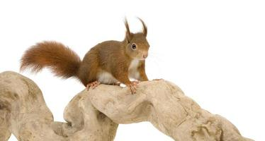 Euraziatische rode eekhoorn - sciurus vulgaris (2 jaar)