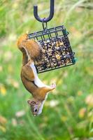 rode eekhoorn die vogelzaad steelt foto