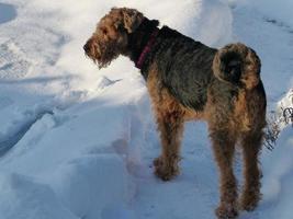 onze airedale terriër en de sneeuw ... foto