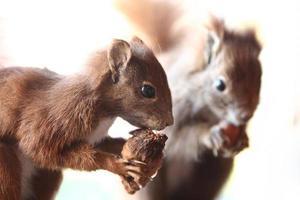 eekhoorns foto