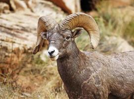 big horn ram (ovis canadensis) foto