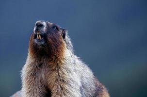 marmot portret foto