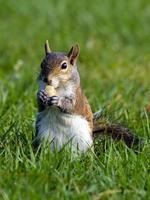 zoete snackende eekhoorn foto