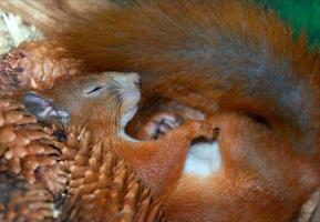 slapende eekhoorn foto