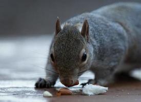 grijze eekhoorn foto
