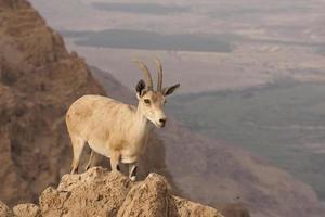 wilde steenbok - Dode Zee-woestijn, Israël