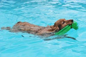 cocker zwemmen foto