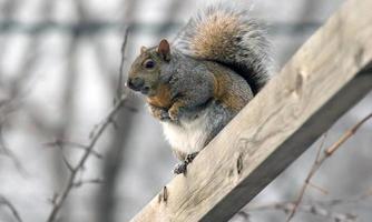 eekhoorn verkenner foto