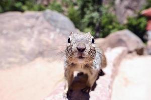 uinta groung eekhoorn foto