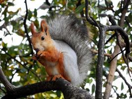 rode eekhoorn die op de boom eet foto