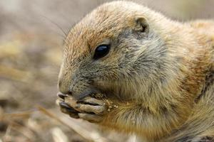 Prairiehond eten