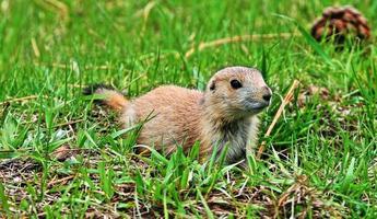 Prairiehond pup in Zuid-Dakota, Verenigde Staten foto