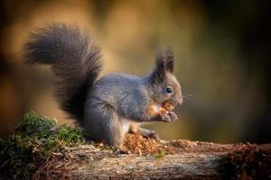 lichtgekleurde rode eekhoorn foto