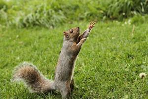 eekhoorn bokser foto