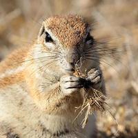 grond eekhoorn foto