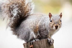 gehurkt eekhoorn foto