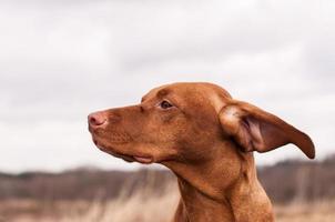 vizsla hond op een winderige dag