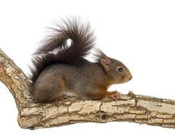 rode eekhoorn, sciurus vulgaris, klimplant