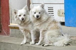 twee mooie harige honden op straat in Kathmandu, Nepal foto