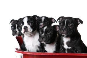 alert boston terrier-puppy's foto