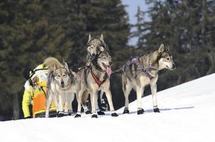sportieve honden in de sneeuw foto
