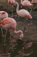 chileense flamingo, phoenicopterus chilensis foto