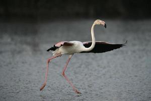 grotere flamingo, phoenicopterus ruber foto
