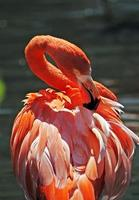 flamingo die zijn achterveren gladstrijkt