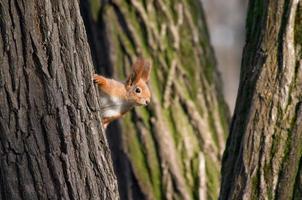 eekhoorn kijk uit van boomstam foto