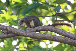 eekhoorn op een boomtak foto