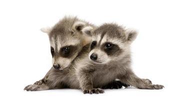 baby wasbeer (6 weken) - Procyon lotor