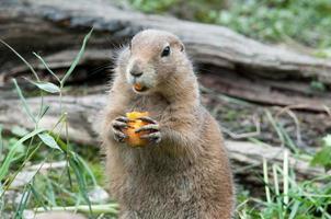 Prairiehond die met zwarte staart een wortel eet