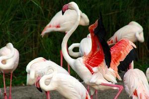 flamingo's foto