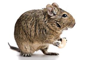 klein knaagdier staat profiel met voedsel in poten foto