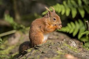 rode eekhoorn, sciurus vulgaris, op een boomstam foto
