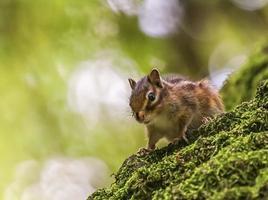 Siberische of gewone eekhoorn eekhoorn, eutamias sibiricus foto