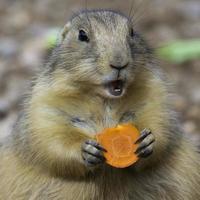 close-up van prariehond die wortel eet