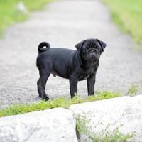 kleine zwarte pug puppy
