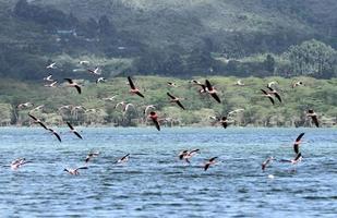 mooie mindere flamingo's foto