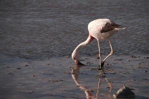 flamingo eten foto