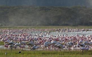 flamingo's op het meer Nakuru foto
