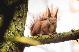Euraziatische rode eekhoorn (sciurus vulgaris)