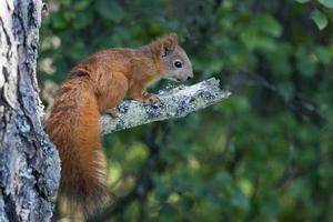 eichhörnchen, sciurus vulgaris, rode eekhoorn foto