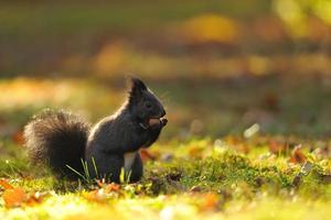 bruine eekhoorn met hazelnoot op gras foto