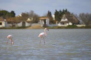 grotere flamingo (phoenicopterus roseus), camargue - frankrijk foto