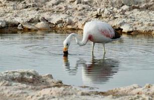 flamingo eten in Salt Lake Lagoon Chaxa foto