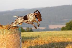 Duitse kortharige aanwijzer springen foto