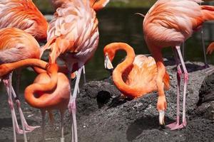 Caribische flamingo foto