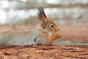 eekhoorn op boom foto